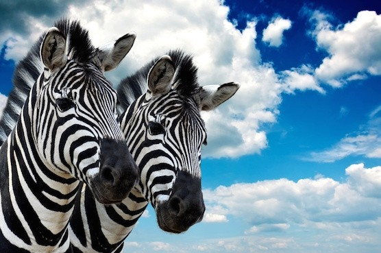 Why Zebras Are Less Stressed Than You Are